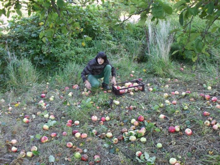 September 2011: Schüler ernten Äpfel auf der Streuobstwiese in Leuba.