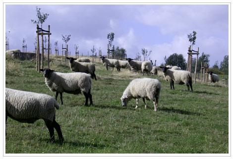 Schafbeweidung auf der Streuobstwiese Leuba in 2007.
