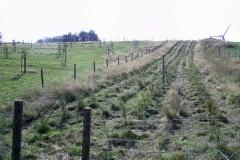 2007: Vierreihige Hecke am Nordrand der Streuobstwiese ein Jahr nach der Pflanzung.